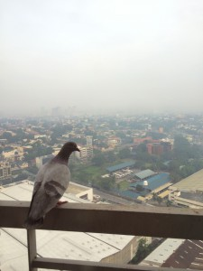 a pigeon gaining perspective from my flat